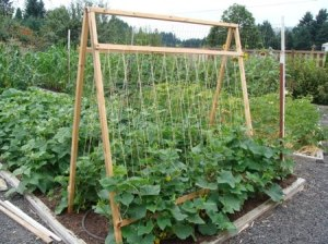 See the drip water irrigation hose poking out of the center of this trellis? I think some lettuces are being grown.